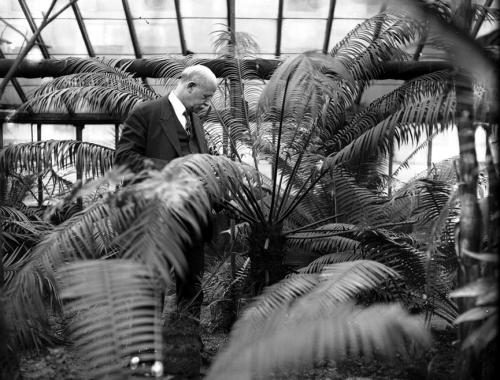 Chamberlain and Cycads in the University of Chicago Greenhouse