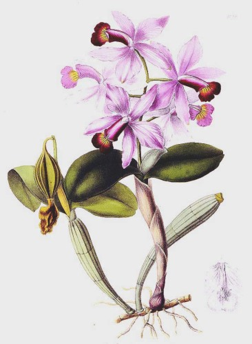 "Illustration from Lindley's book entitled ""Sertum orchidaceum: A Wreath of the Most Beautiful Orchidaceous Flowers"" (1837-41)."